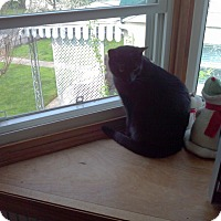 Domestic Shorthair Kitten for adoption in Saint Albans, West Virginia - Parker