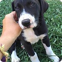 Adopt A Pet :: Molly-pending adoption - East Hartford, CT
