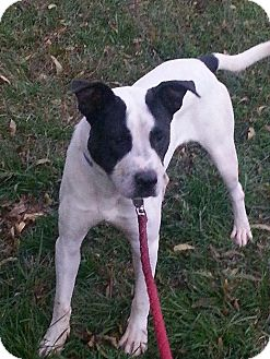 Pit Bull Terrier Mix Dog for adoption in Silver Spring, Maryland - THOREAU