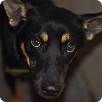 Adopt A Pet :: Joey - Southeastern, PA
