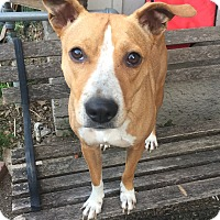 Adopt A Pet :: Bam Bam - CHAMPAIGN, IL