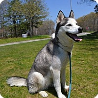 Husky Dog for adoption in Brookhaven, New York - Hagird