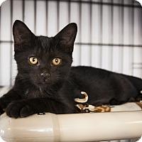 Adopt A Pet :: Viserys Targaryen - Chicago, IL