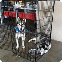 Adopt A Pet :: Bravo - Glendora, CA