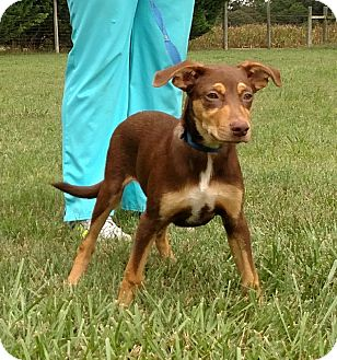 Australian Shepherd/Doberman Pinscher Mix Puppy for adoption in Seneca, South Carolina - John $250