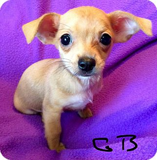Spaniel (Unknown Type)/Chihuahua Mix Puppy for adoption in Los Angeles, California - Gummy Bear