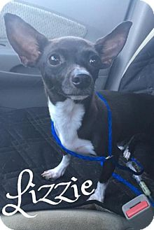 Chihuahua Mix Dog for adoption in Cantonment, Florida - Lizzie