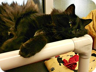 Domestic Longhair Cat for adoption in Chesapeake, Virginia - Smokey