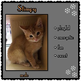 Domestic Shorthair Kitten for adoption in Richmond, California - Stimpy