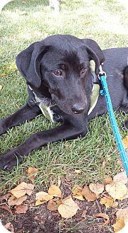 Dachshund/Labrador Retriever Mix Dog for adoption in joliet, Illinois - MAX