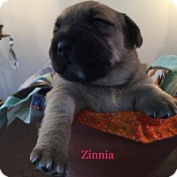Adopt A Pet :: Zinnia - New York, NY