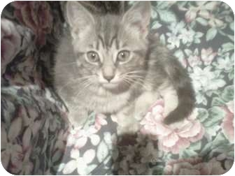 Domestic Shorthair Kitten for adoption in Montreal, Quebec - Simba