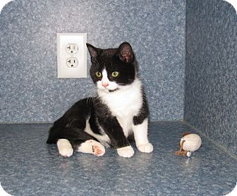 American Shorthair Kitten for adoption in Harrisburg, North Carolina - Bradley