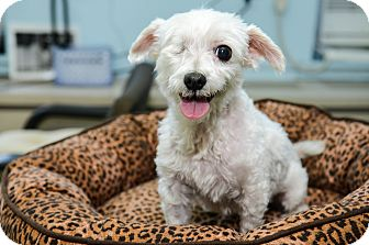 Maltese Dog for adoption in New York, New York - Sophie