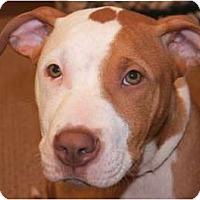 Adopt A Pet :: Nikko - Reisterstown, MD