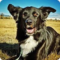 Adopt A Pet :: Bear - Cheyenne, WY