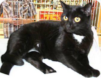 Domestic Shorthair Cat for adoption in Salisbury, North Carolina - Midnight