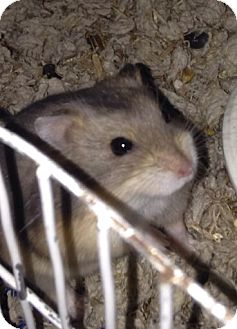 Hamster for adoption in Imperial Beach, California - Patooti