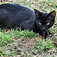 Domestic Shorthair Cat for adoption in Princeton, New Jersey - Berry