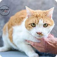 Domestic Shorthair Cat for adoption in Cincinnati, Ohio - Sunnie