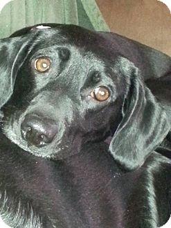 Pointer/Labrador Retriever Mix Dog for adoption in East Smithfield, Pennsylvania - Julie