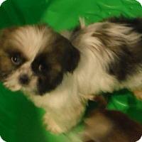 Adopt A Pet :: JoJo PENDING - Manchester, NH