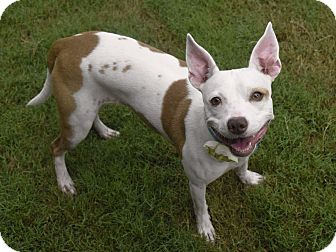Jack Russell Terrier Mix Dog for adoption in Nashville, Tennessee - Cheeto