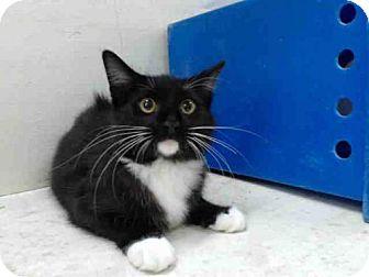 Domestic Mediumhair Kitten for adoption in Orlando, Florida - SNEAKERS