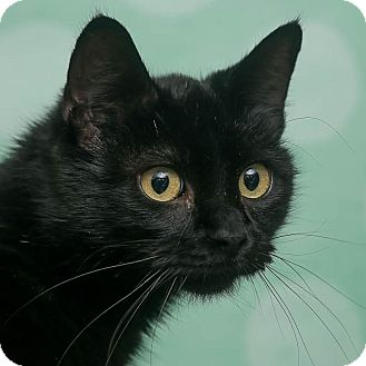 Domestic Shorthair Cat for adoption in Chippewa Falls, Wisconsin - Jina