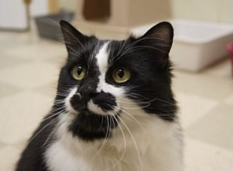 Domestic Shorthair Cat for adoption in Libby, Montana - Princess Bubbles