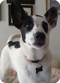 Australian Cattle Dog Mix Dog for adoption in Gilbert, Arizona - Genevive