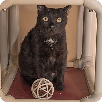 Domestic Shorthair Cat for adoption in Wheaton, Illinois - Umami