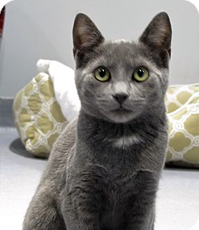Domestic Shorthair Cat for adoption in Lafayette, New Jersey - Josie