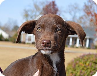Labrador Retriever Mix Puppy for adoption in Seabrook, New Hampshire - Miracle