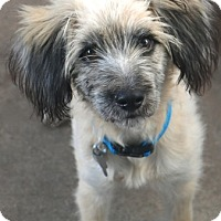 Saluki/Wheaten Terrier Mix Dog for adoption in Norwalk, Connecticut - Wendover - MEET ME