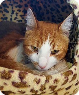 Domestic Shorthair Cat for adoption in Salisbury, Massachusetts - Toffee