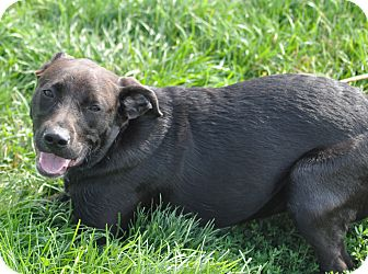 Labrador Retriever Mix Dog for adoption in New Cumberland, West Virginia - Trixie