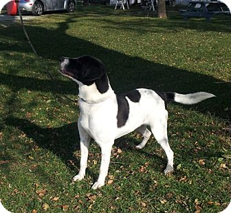 Border Collie/Labrador Retriever Mix Dog for adoption in Chicago, Illinois - Elwood