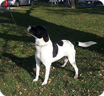 Border Collie/Labrador Retriever Mix Dog for adoption in Chicago, Illinois - Elwood
