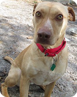 Labrador Retriever Mix Dog for adoption in Forked River, New Jersey - Lilly