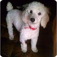 Adopt A Pet :: Snowie - Pembroke pInes, FL