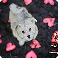 Adopt A Pet :: Leia Shywalker - Huntington Beach, CA