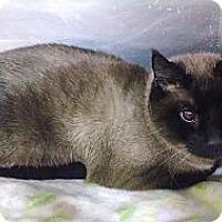 Adopt A Pet :: Cocoa - Lap Cat - East Hanover, NJ