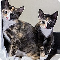 Adopt A Pet :: Frieda and Violet - Chicago, IL