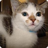 Adopt A Pet :: Gaia - Miami, FL