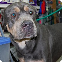 Adopt A Pet :: Ryan - Brooklyn, NY