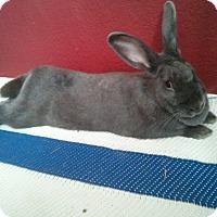 Adopt A Pet :: Sesame - Watauga, TX