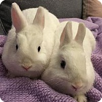 Adopt A Pet :: Spark - Woburn, MA
