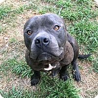 American Staffordshire Terrier Mix Dog for adoption in Conroe, Texas - Lebowski