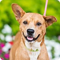 Adopt A Pet :: Sugar - Houston, TX